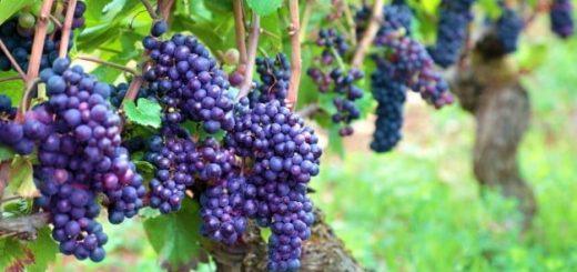 «Вездеход»: выпуск о древнейшем искусстве - виноделии.