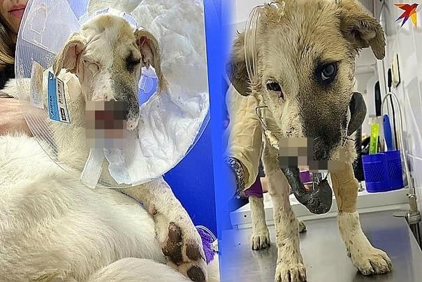 раненая собака от петарды
